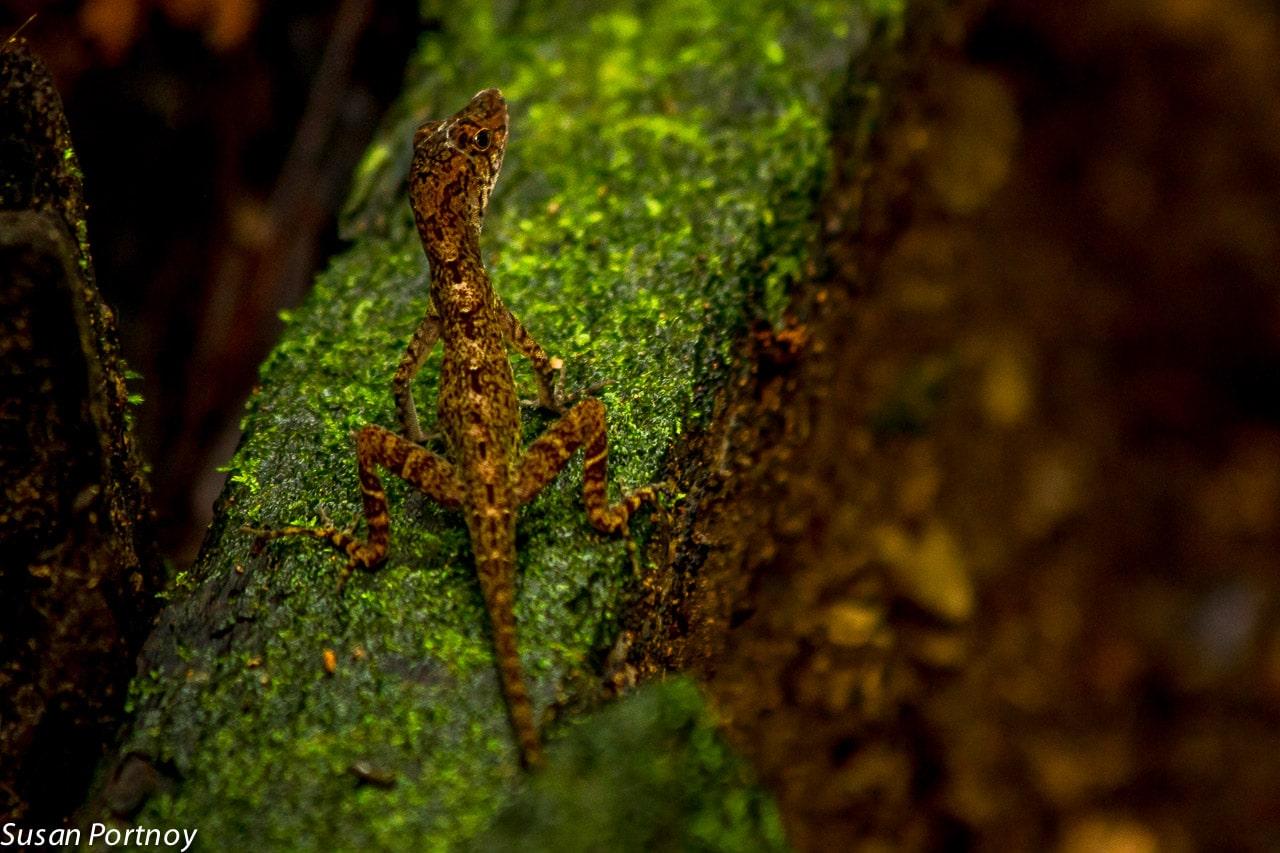 Anoli in Costa Rica