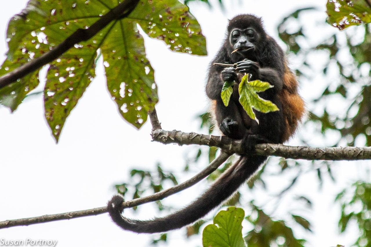 Howler monkey eats a leaf in Costa Rica