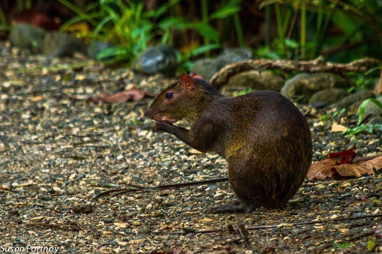 A common agouti in Costa Rica