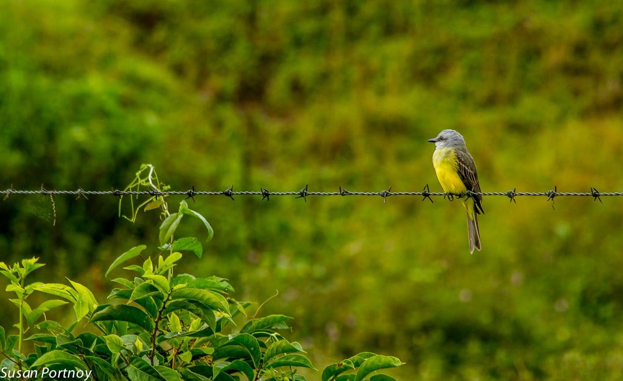 Tropical kingbird in Costa Rica