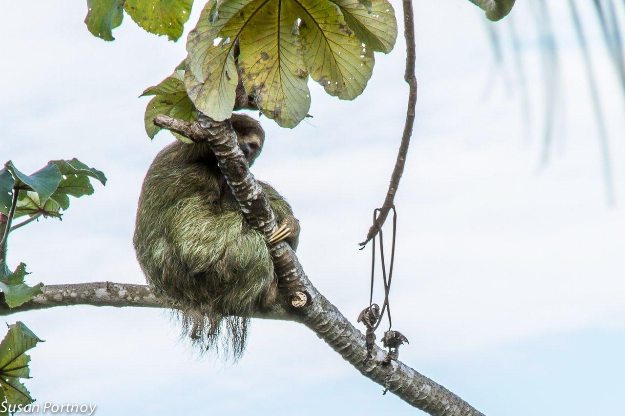 Three-toed Sloth plays peekaboo in Costa Rica