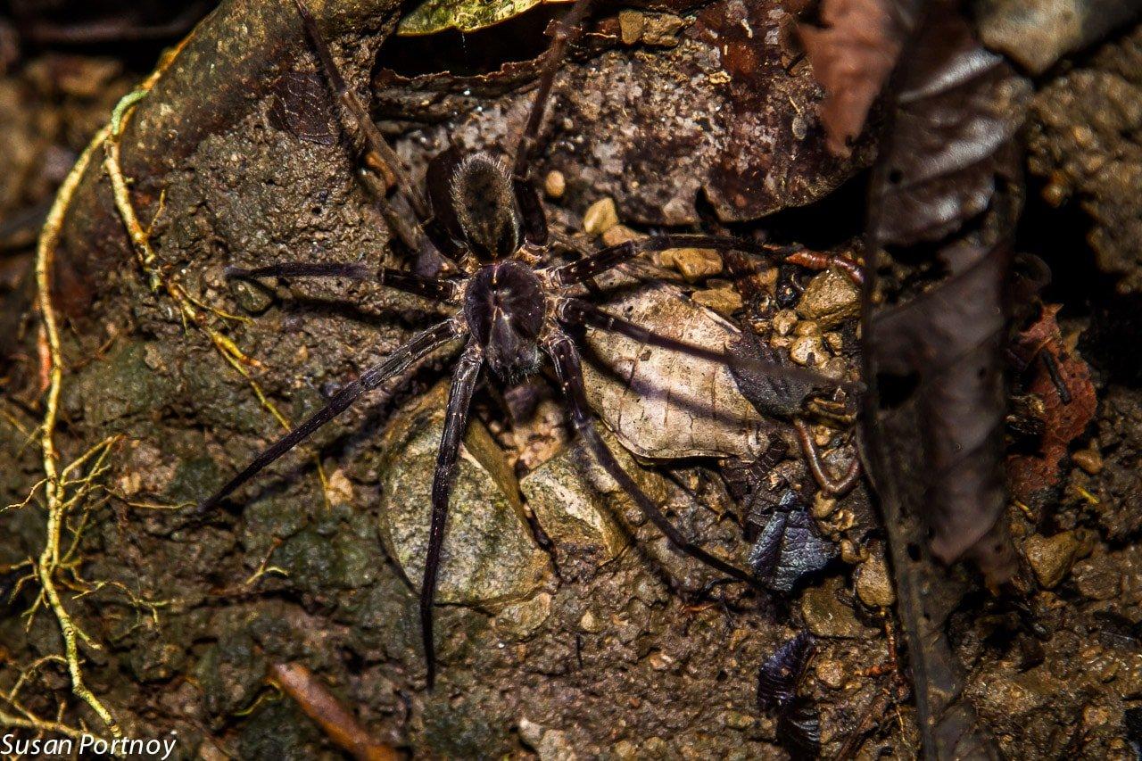 Trantula in Costa Rica