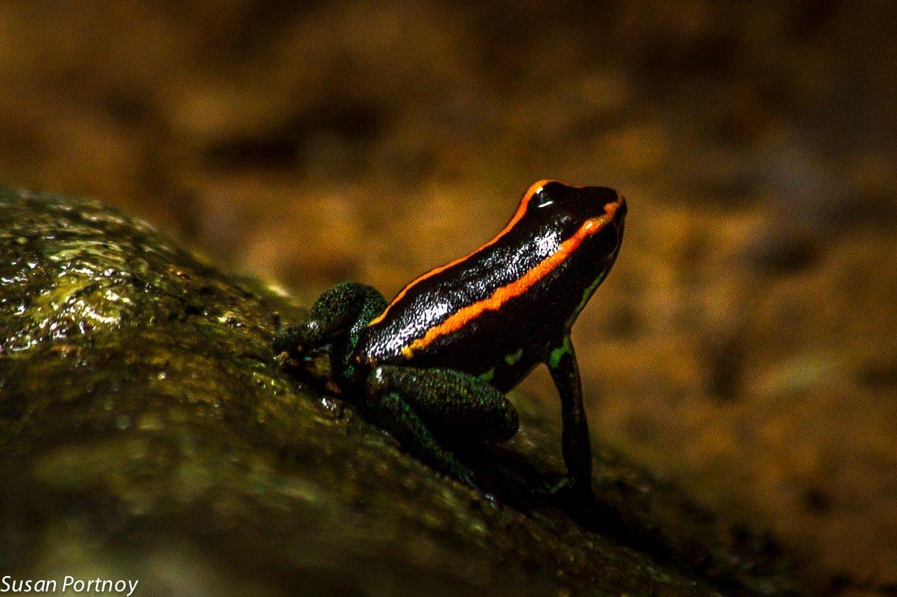 Striped poison dart frog in Costa Rica