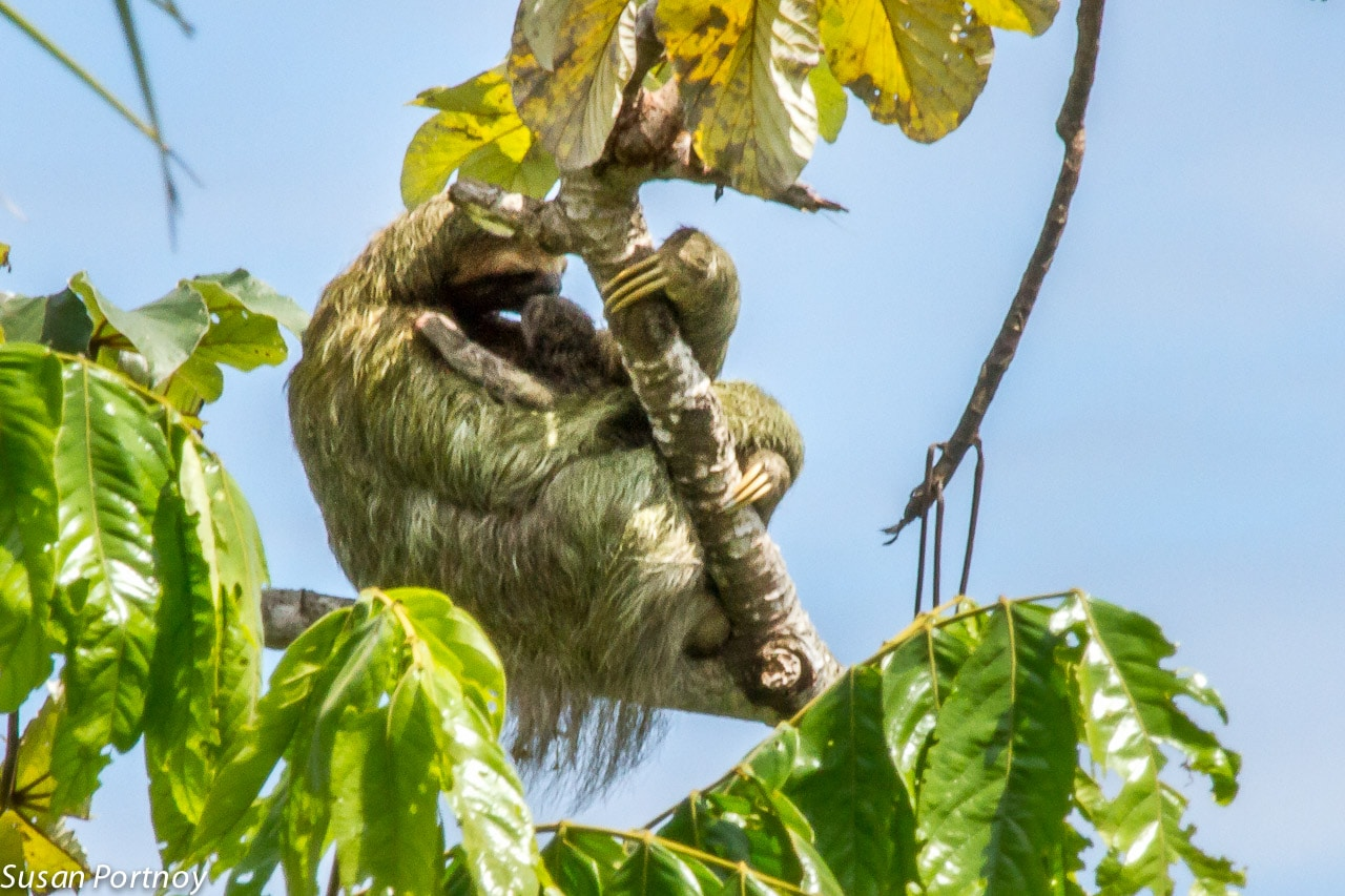 Momma three-toes sloth in Costa Rica