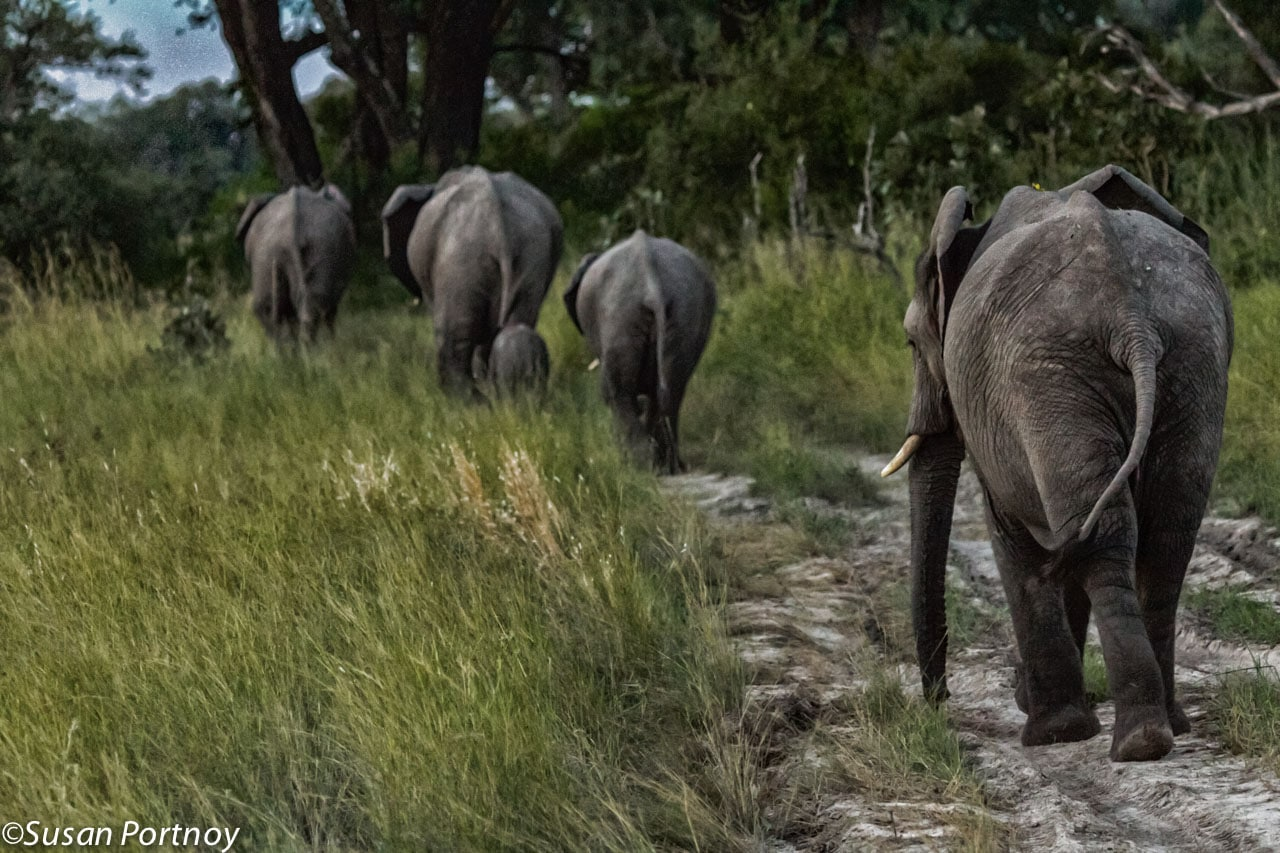 A herd heading who knows where, walks through the bush at twilight. If you notice, the last elephant has its head turned ever-so-slightly to the left to keep an eye on us.