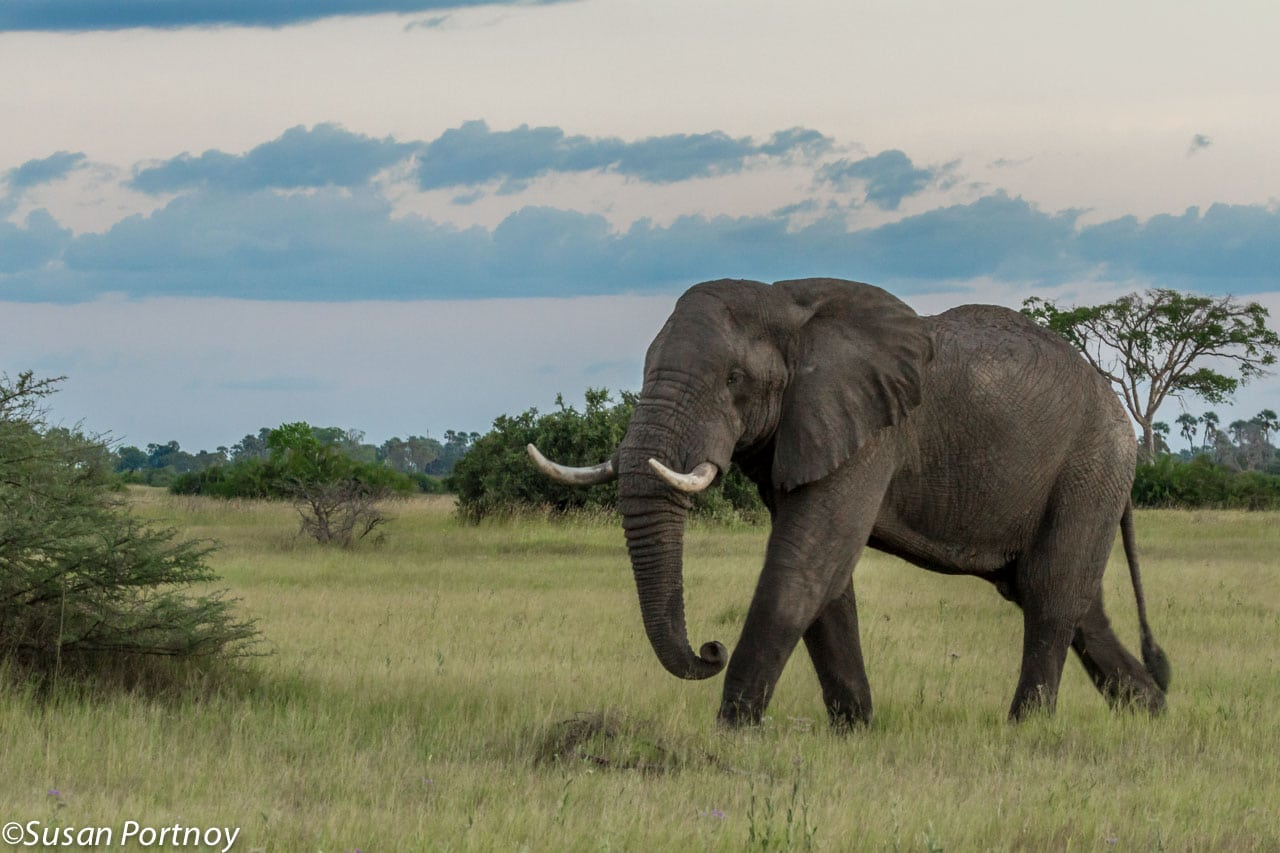 A very large, lone bull walks the Okavango Delta at twilight. I think he's quite the dapper gentleman.