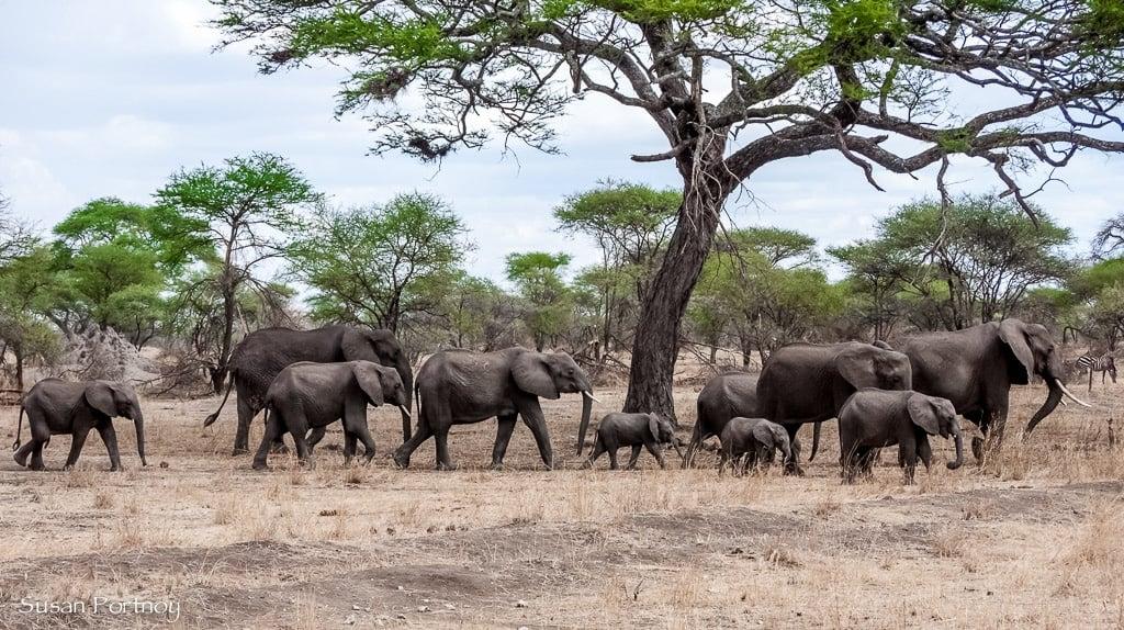 Elephant herd in Tanzania