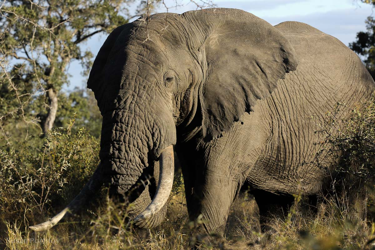 Big Tusker elephant in the Timbavati Game Reserve