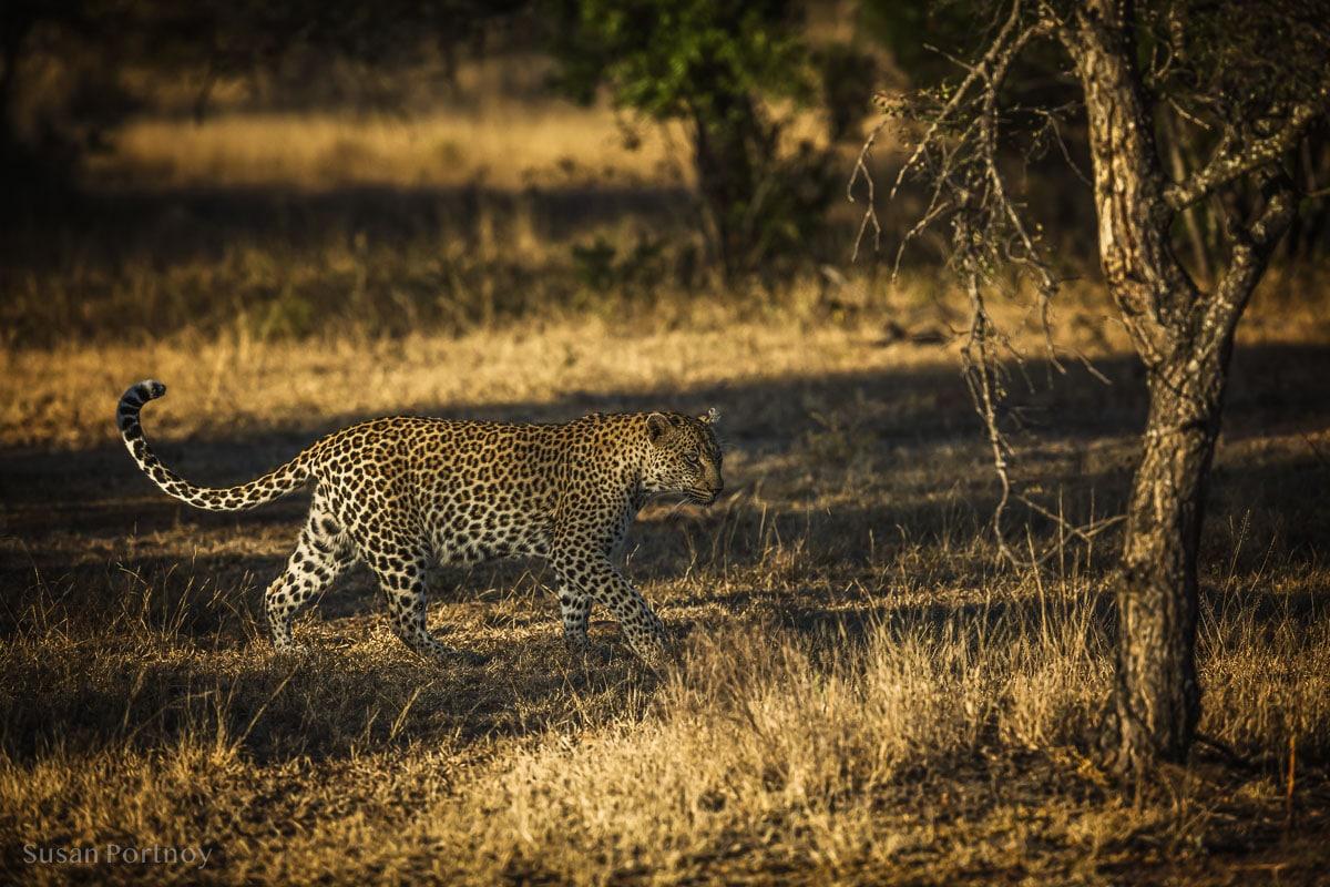 A beautiful female leopard walks in the bush