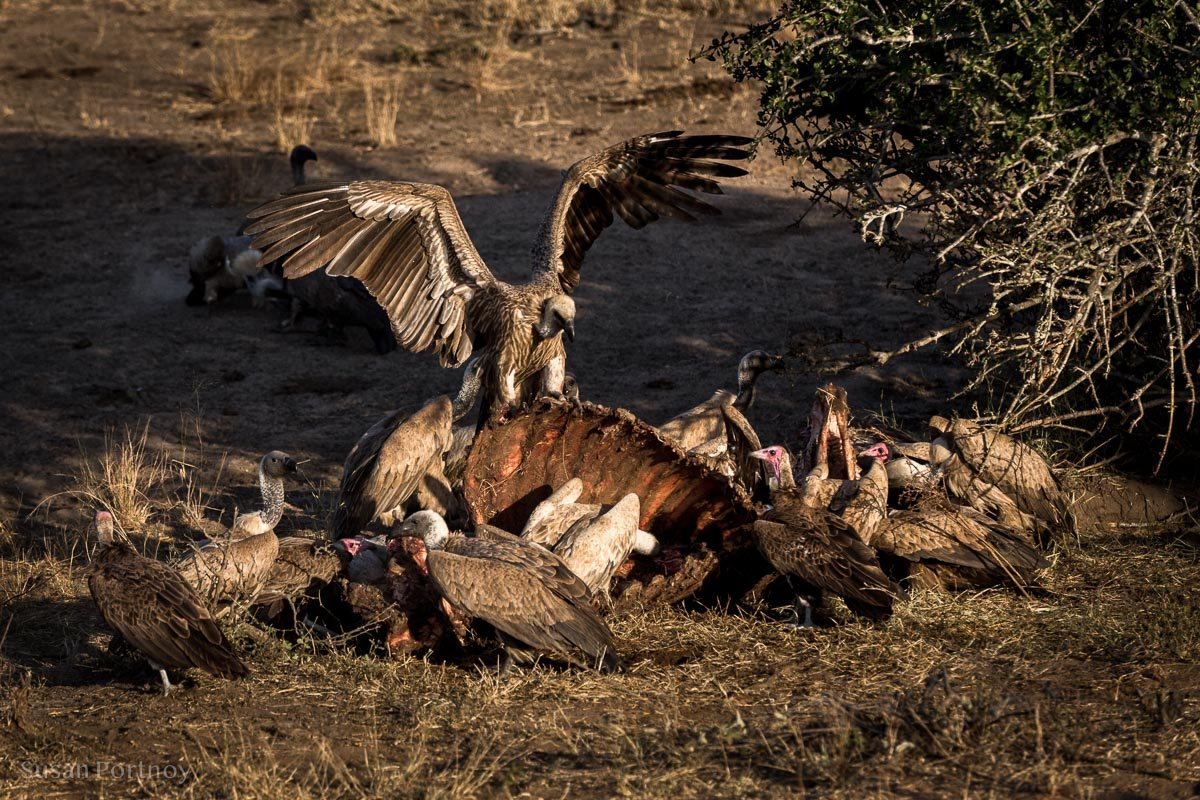 Vultures on a buffalo carcas in Timbavati Game Reserve