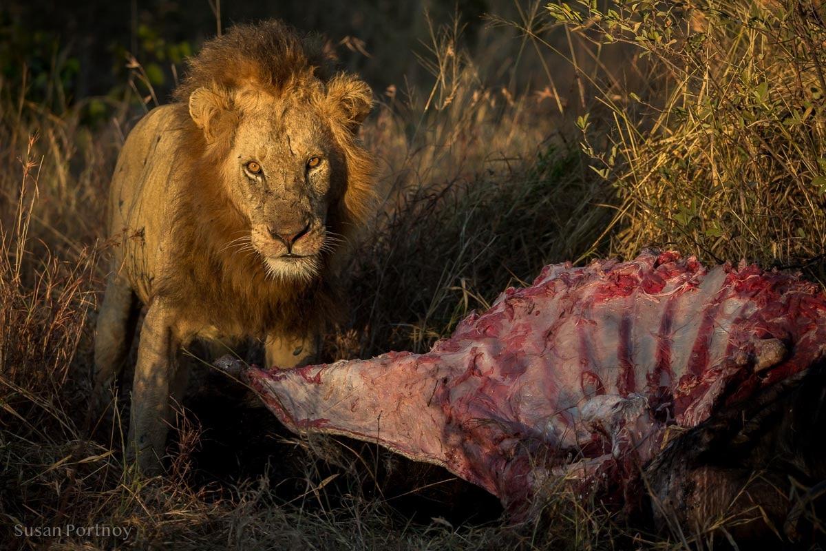 Lion next to a buffalo Carcass