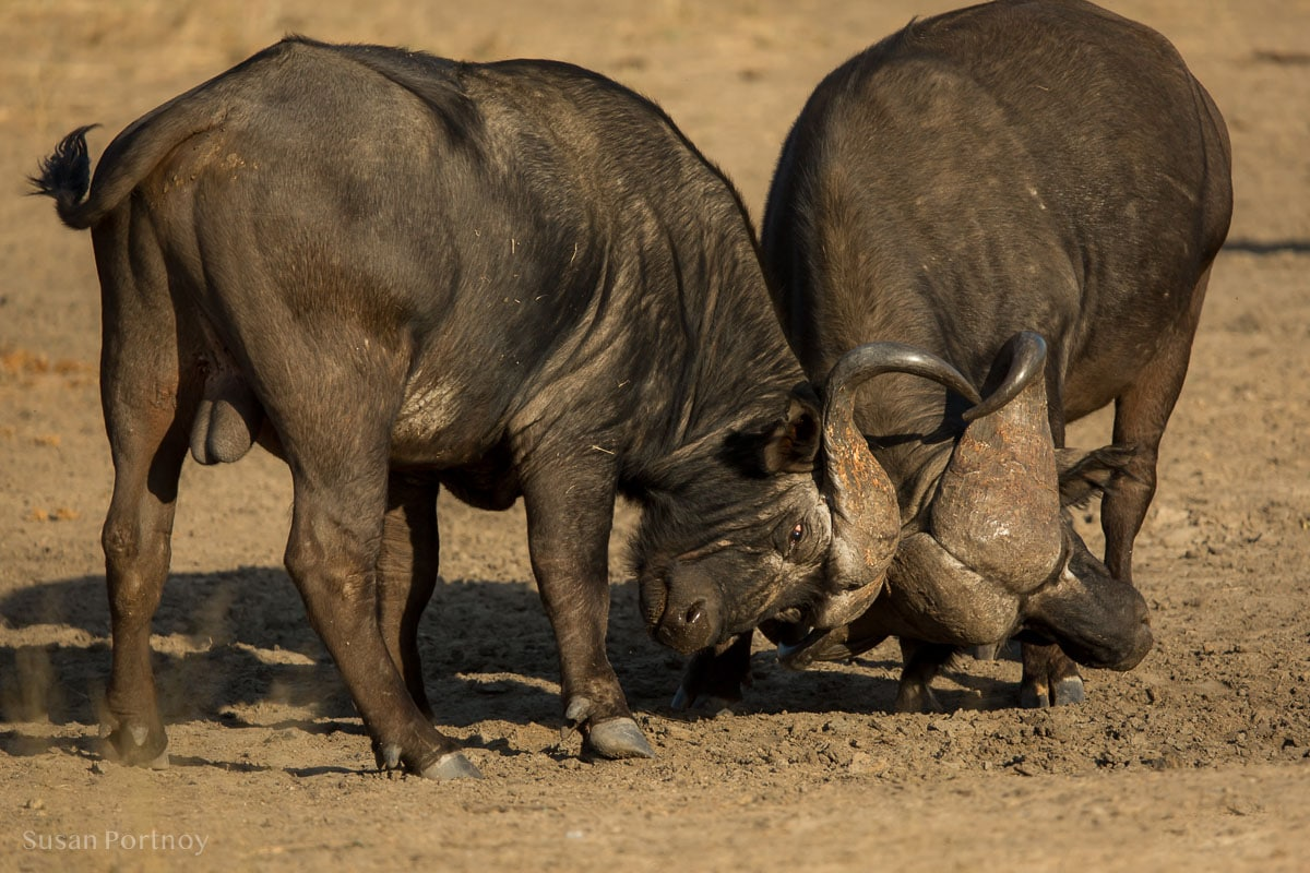 Two buffalo playing at dominance