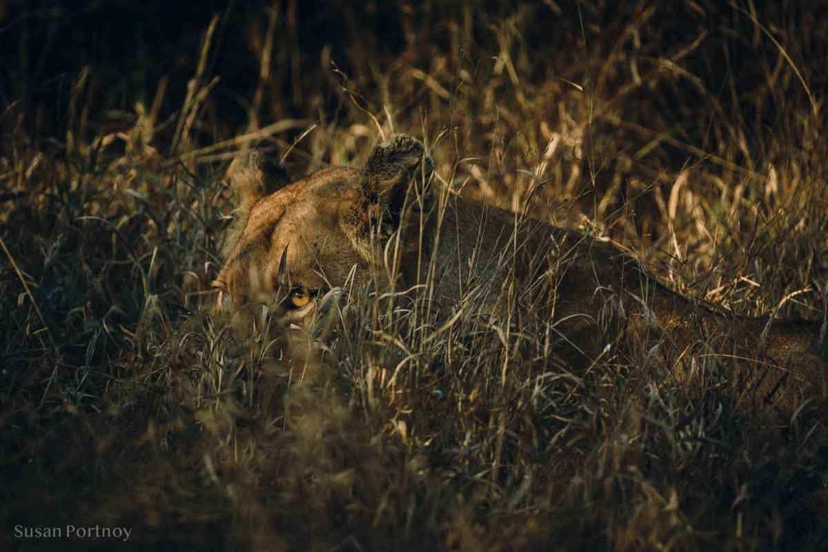 A lion almost hidden by grass