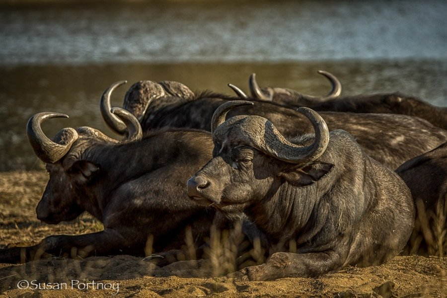 Buffalo in Timbavati, South AFrica