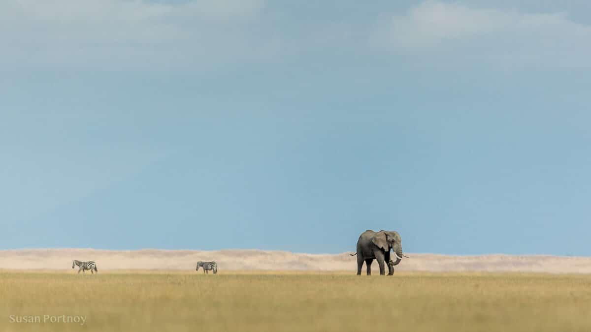 View of zebra and an elephant on Lake Amboseli
