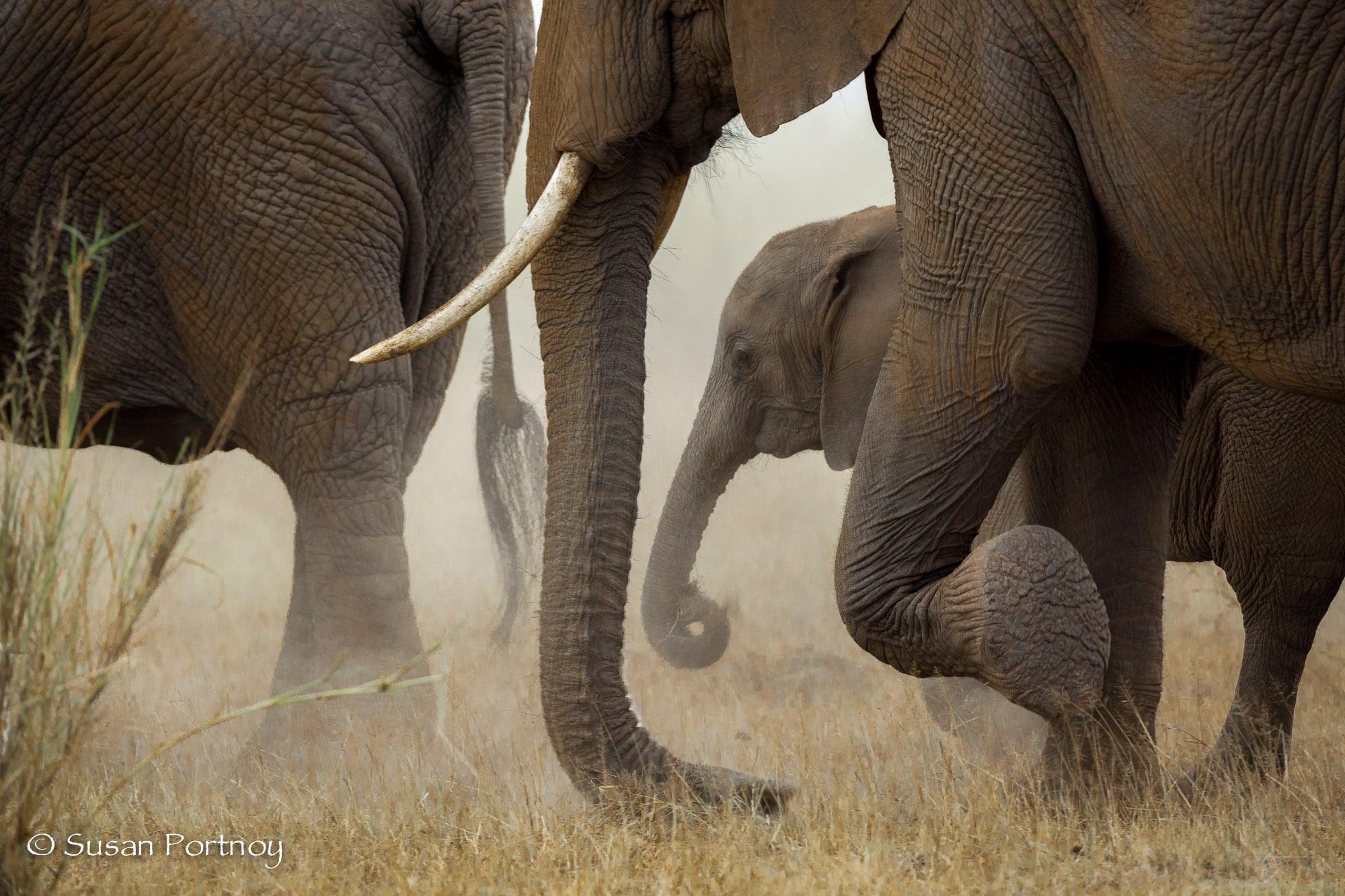 Herd of elephants in Amboseli Kenya
