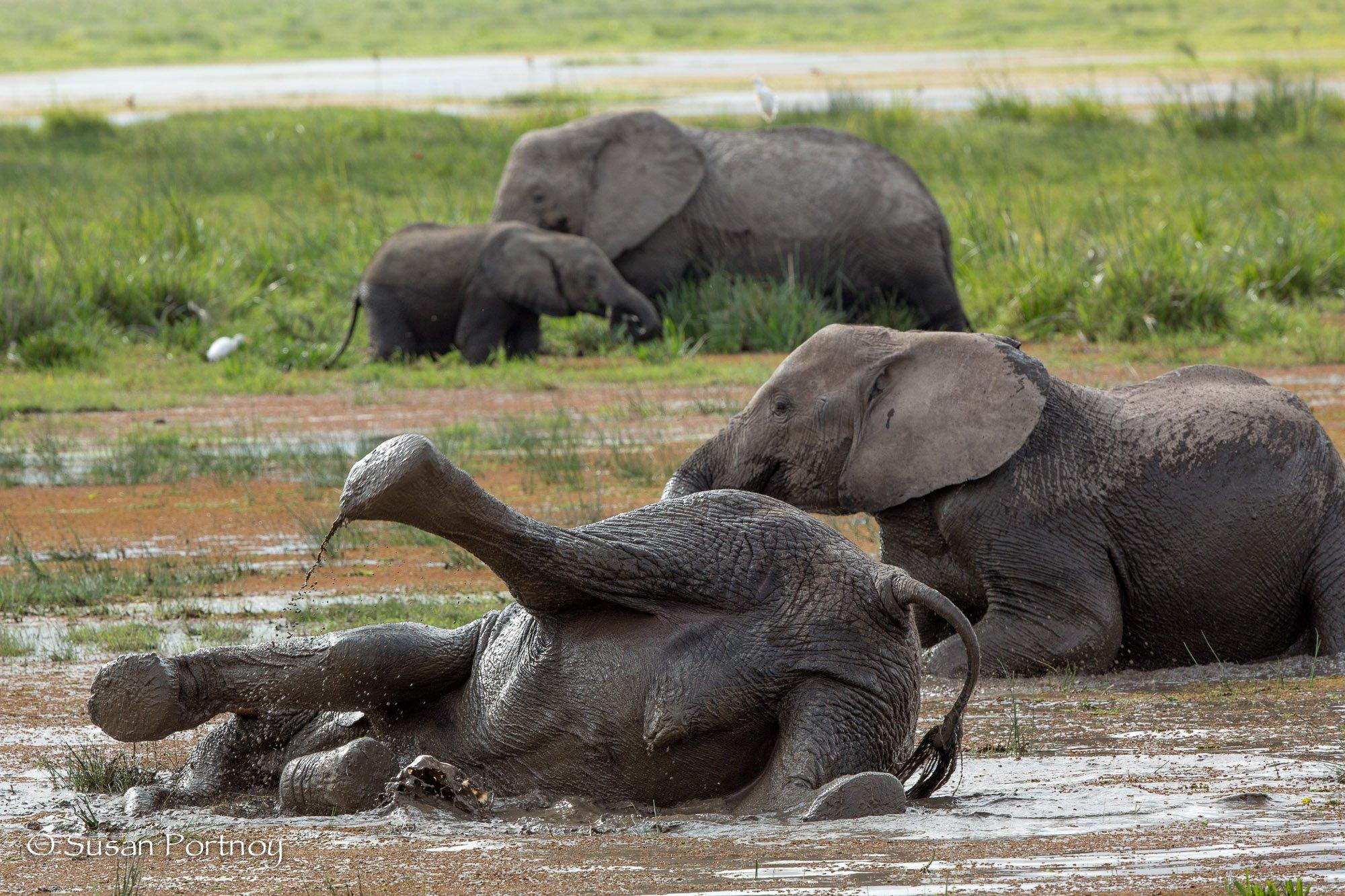 Elephant rolls in the mud in Amboseli, Kenya