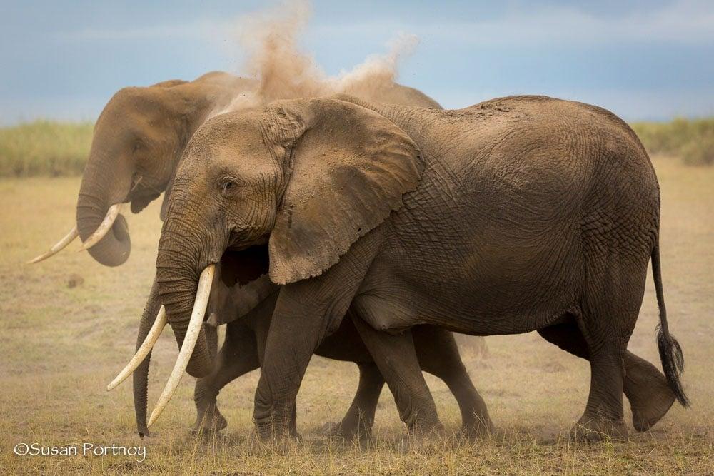 Elephants dusting in Amboseli, Kenya