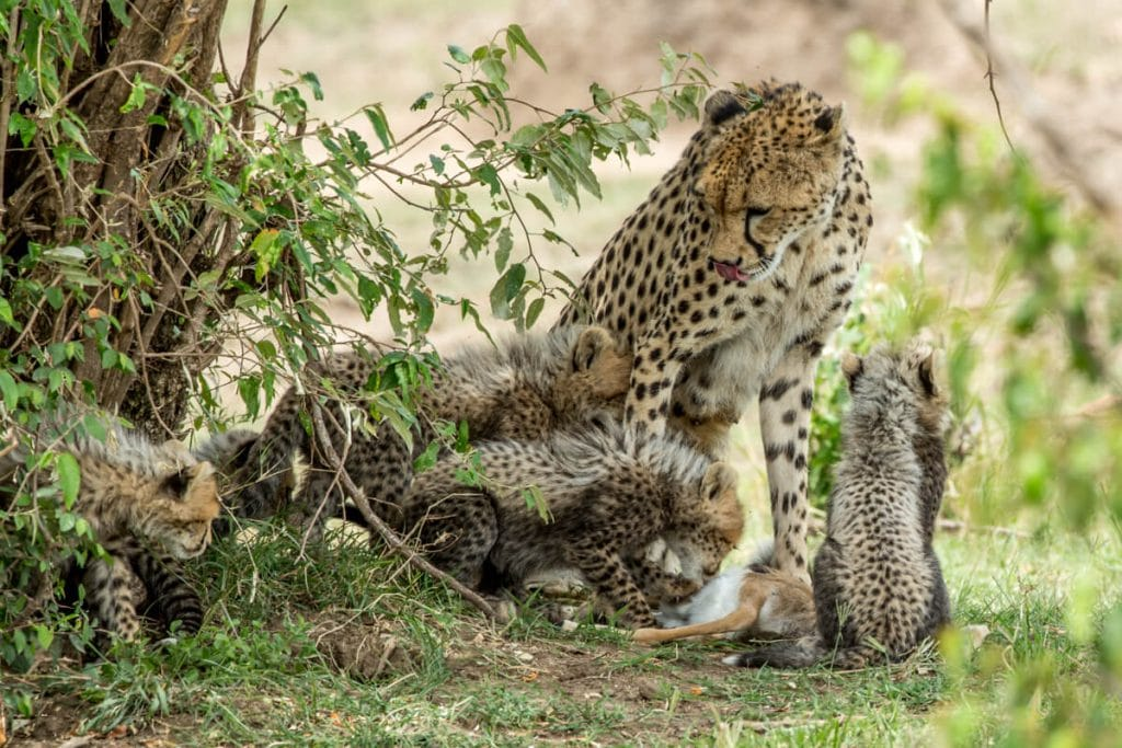 Mother cheetah -- What do Cheetah's Eat