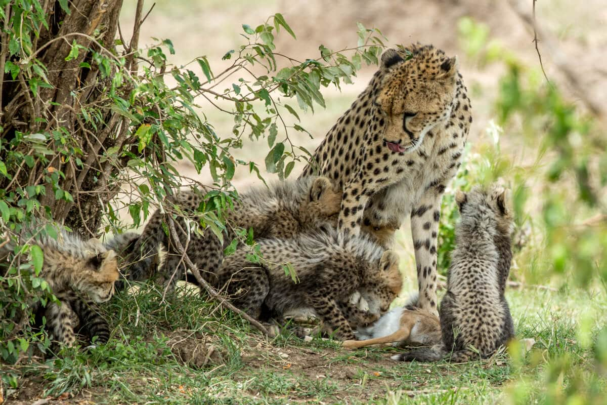 Mother cheetah -- What do Cheetah's Eat