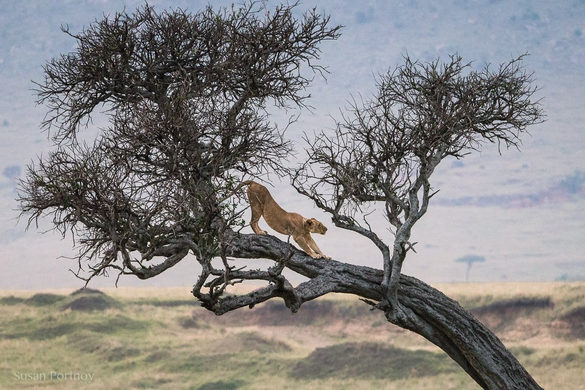 Lion in at tree in the Masai Mara -0555