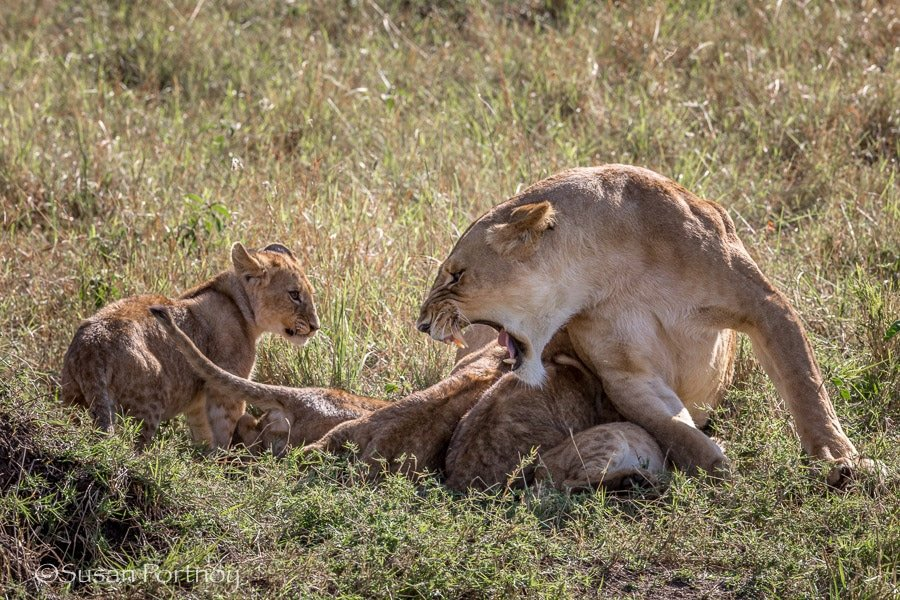 Lioness roars at cub, while other cubs nurse in the Masai Mara, Kenya
