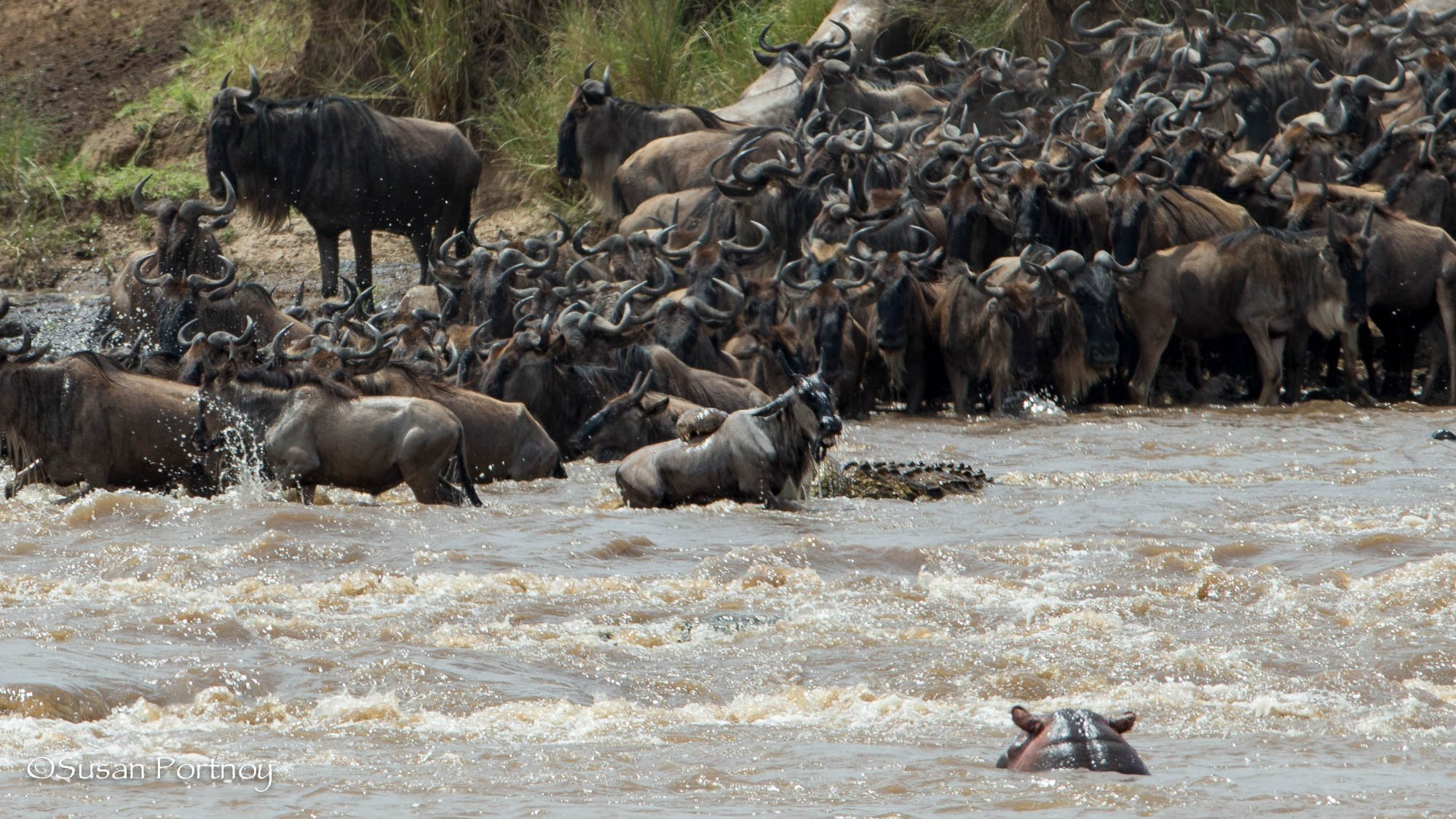 Wildebeest crossing a rive with a hippo watching.