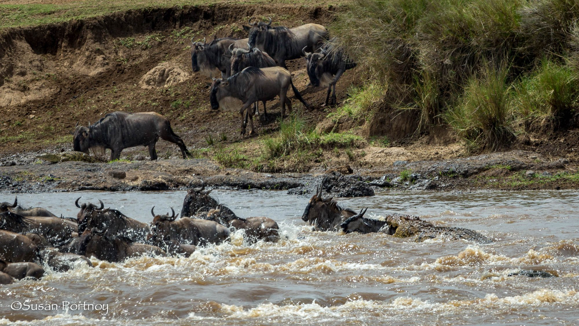 A crocodile attacks one of many wildebeest crossing a river in the Masai Mara.