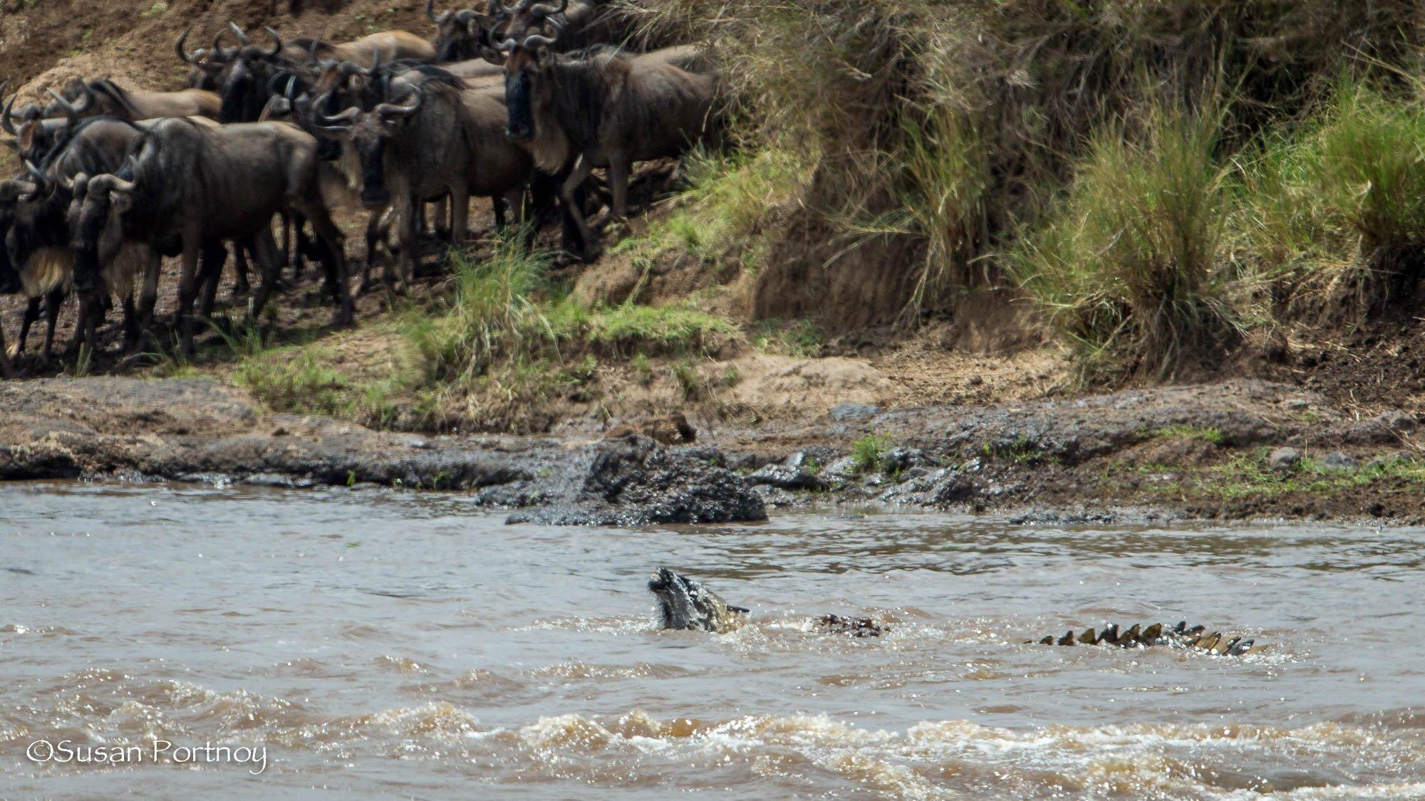 A crocodile drowns a wildebeest in the Mara River