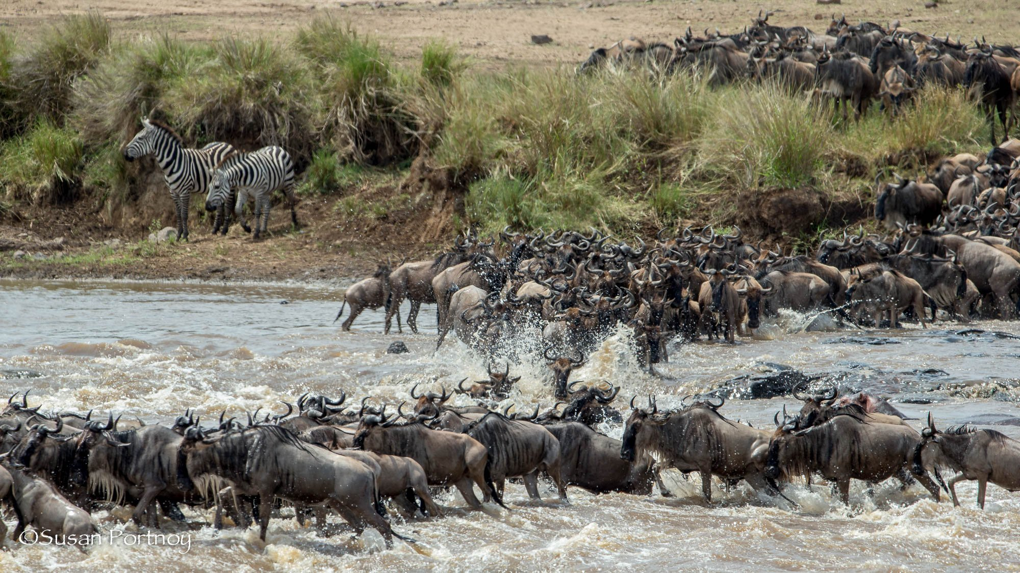 A very chaotic scene of wildebeest crossing the Mara River