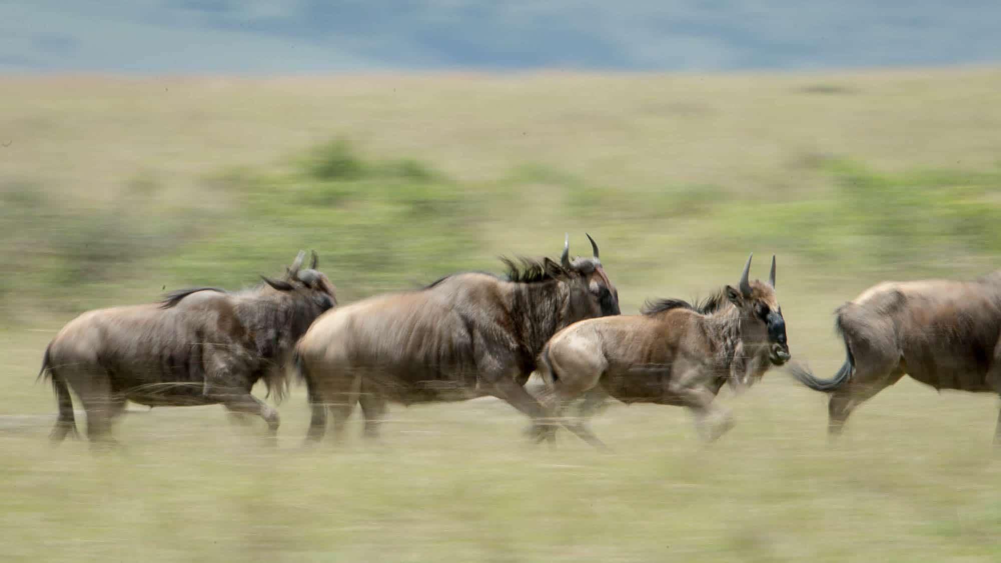 Wildebeest running in the Mara Triangle, Kenya