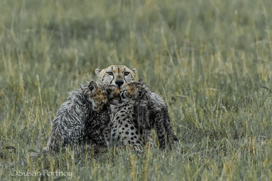 photographing-cheetah-and-cubs-in-the-masai-mara-01