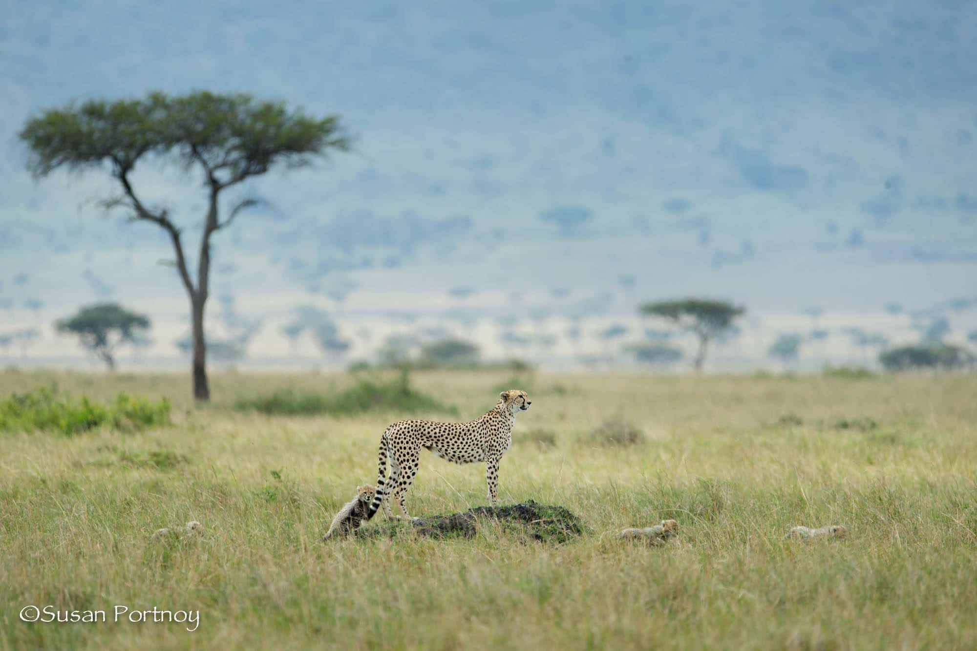 Cheetah mother with her cubs in the Masai Mara, Kenya