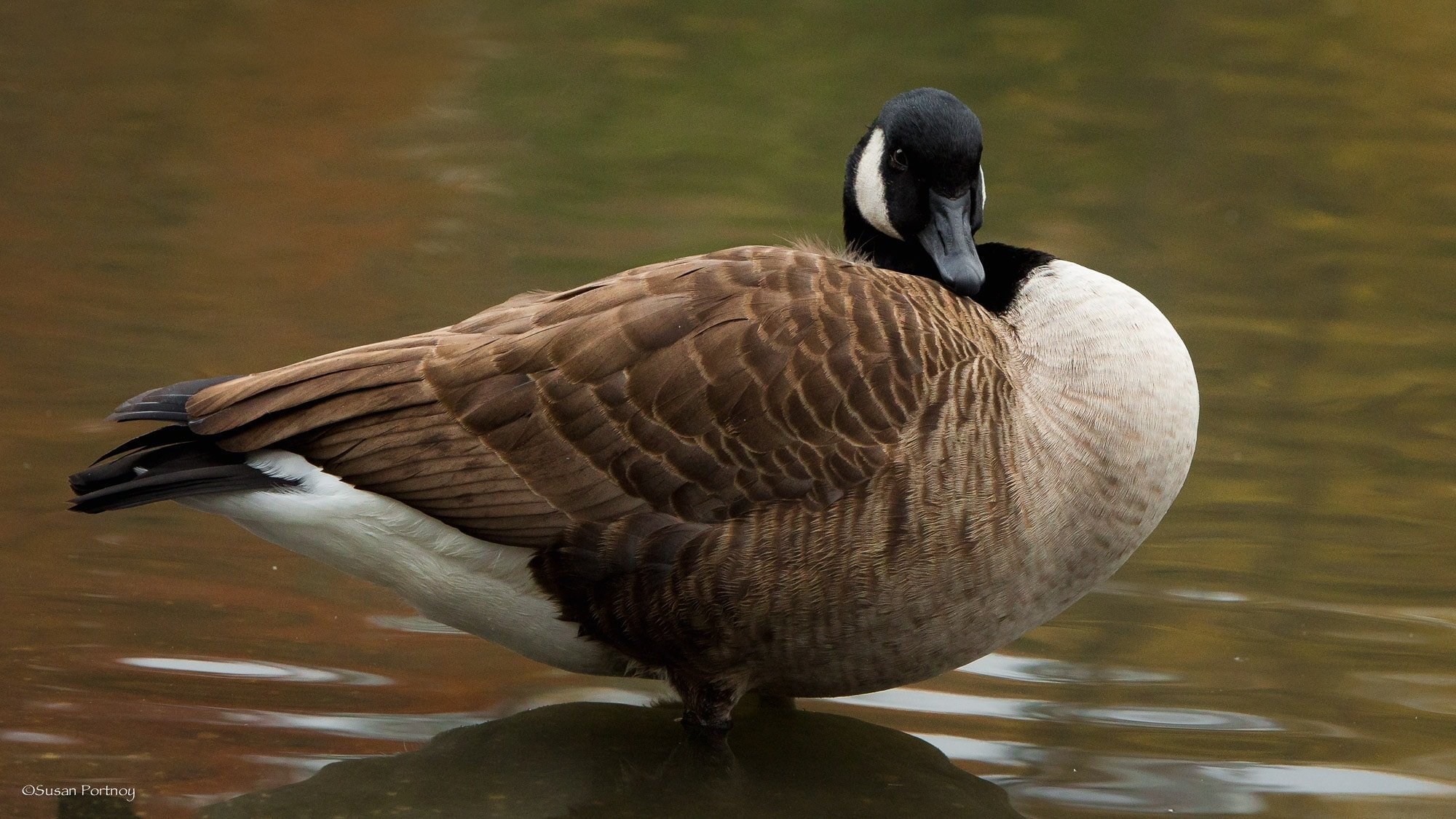 Canadian goose poses for a portrait