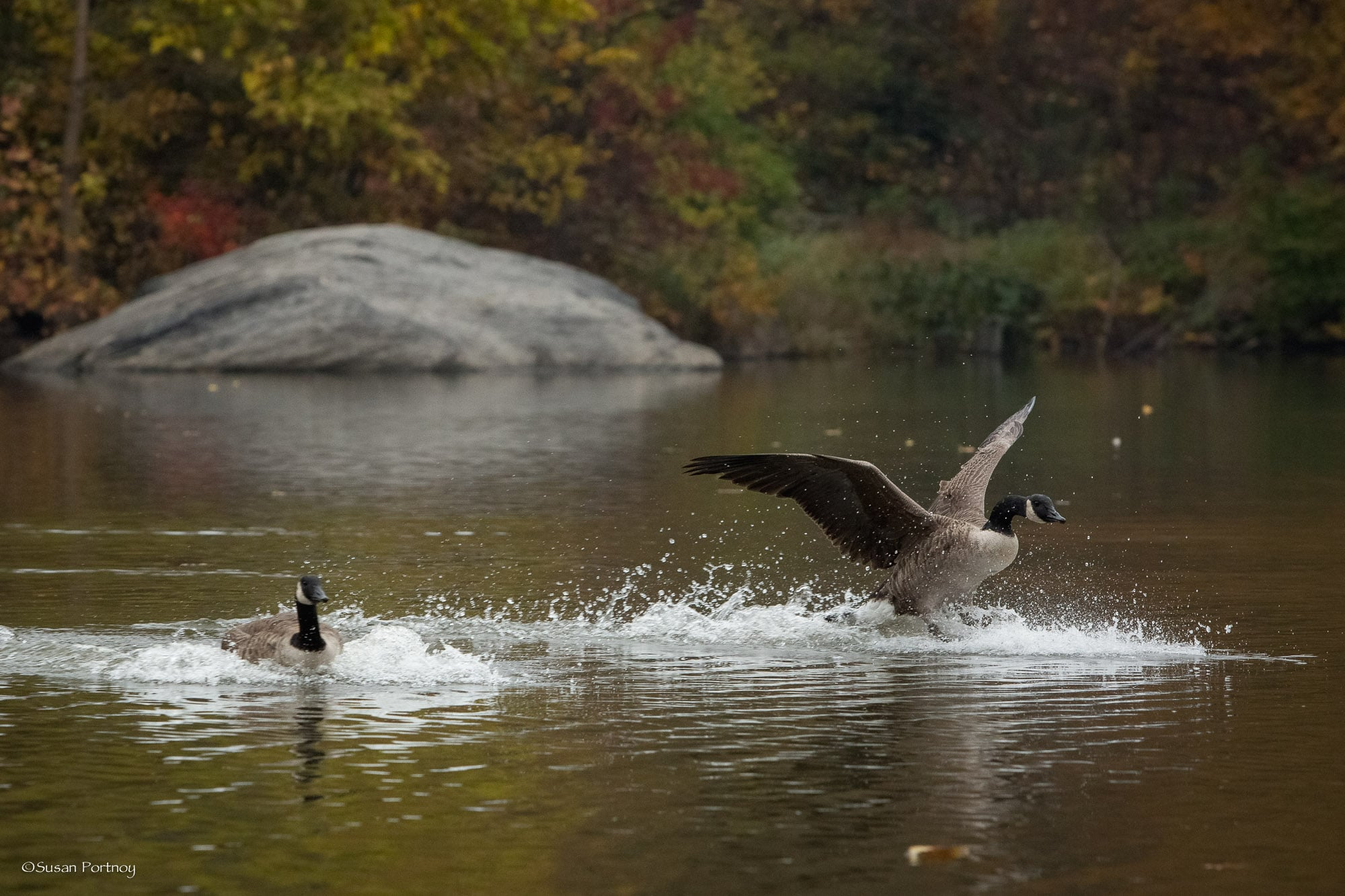 Goose lands on the water in Central Park
