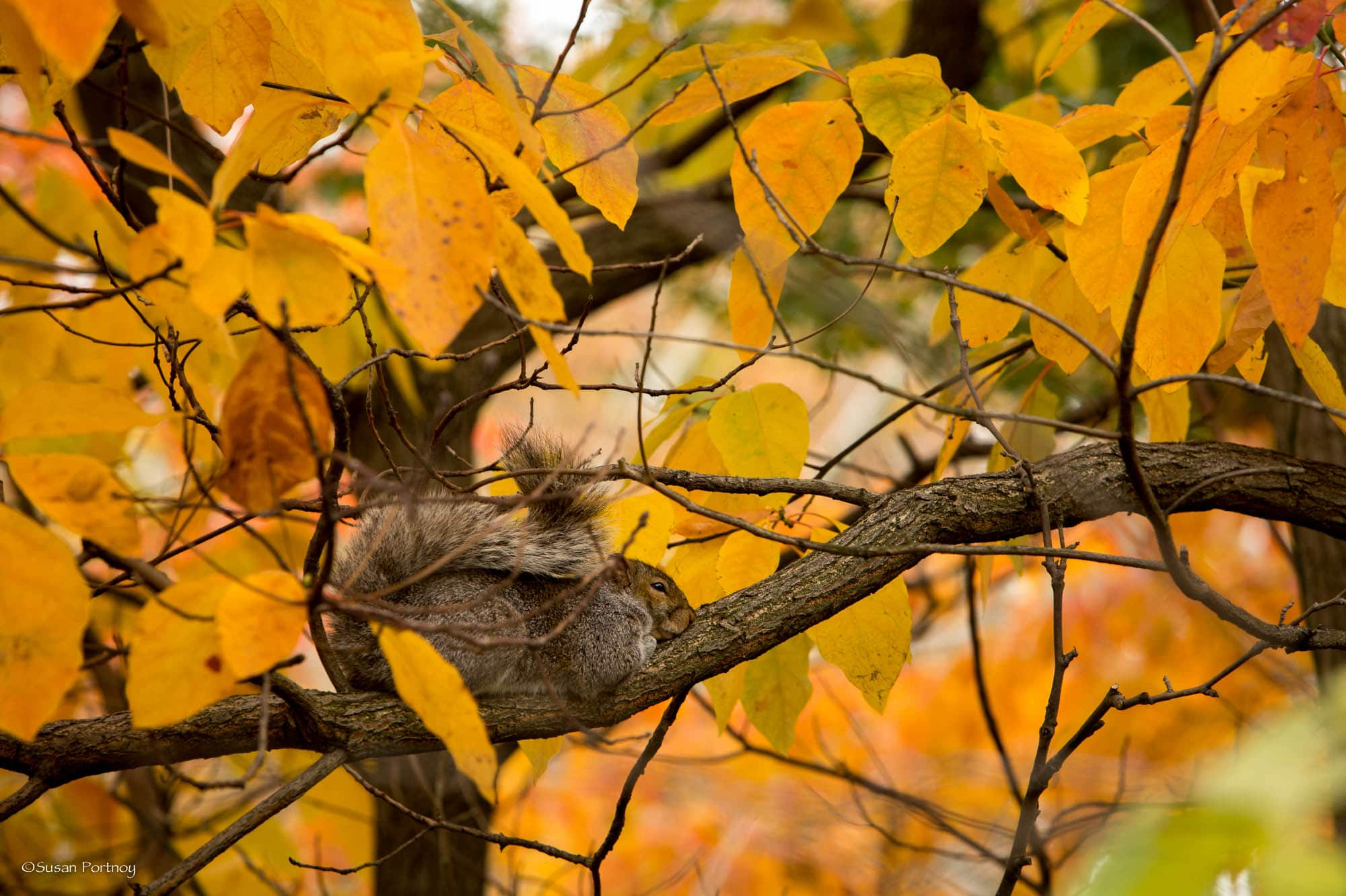 Sleepy squirrel on a branch in Central Park in NYC