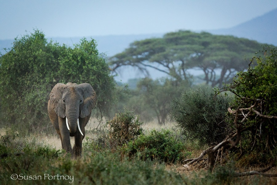 One elephant in the acacia forest in Amboseli, Kenya