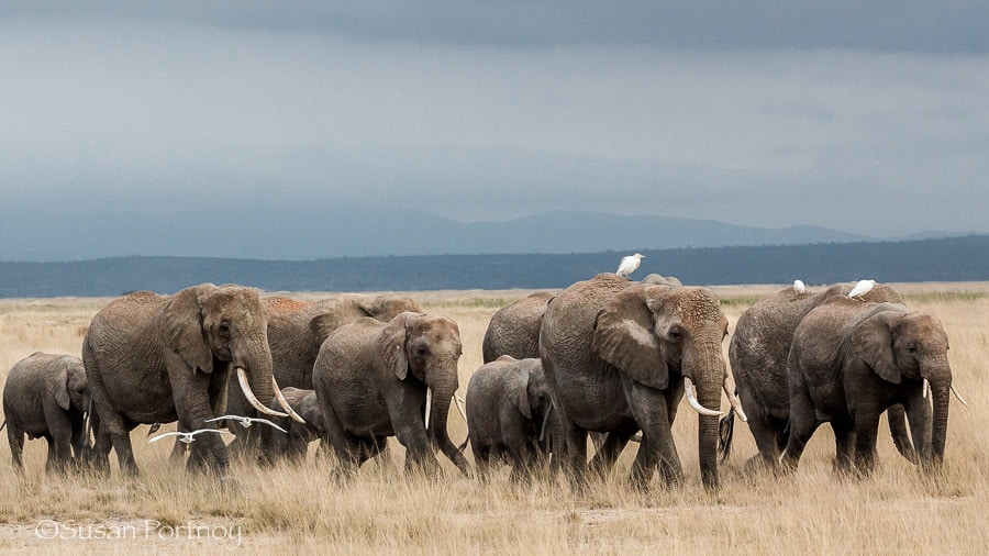 A herd with over 80 members walks across a dry plain in Amboseli, Kenya