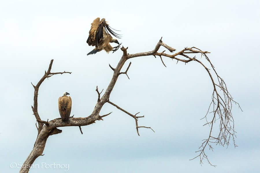 Vultures flying to a tree in Amboseli, Kenya