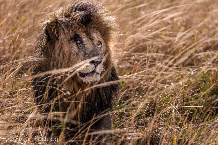 Photographing Scar the lion in the Masai Mara
