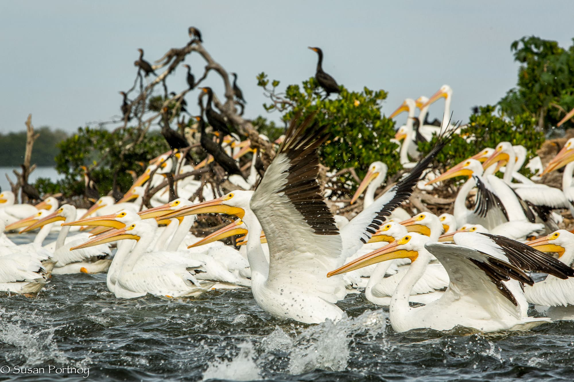 Hundreds of pelicans take flight in Florida