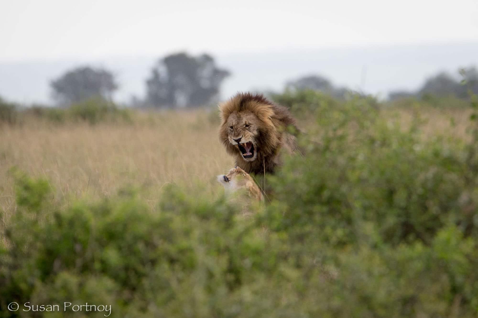 Sikio snarls at female in Mara Triangle, Kenya