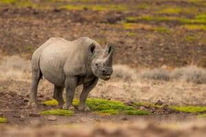 Kangombe black rhino in Namibia