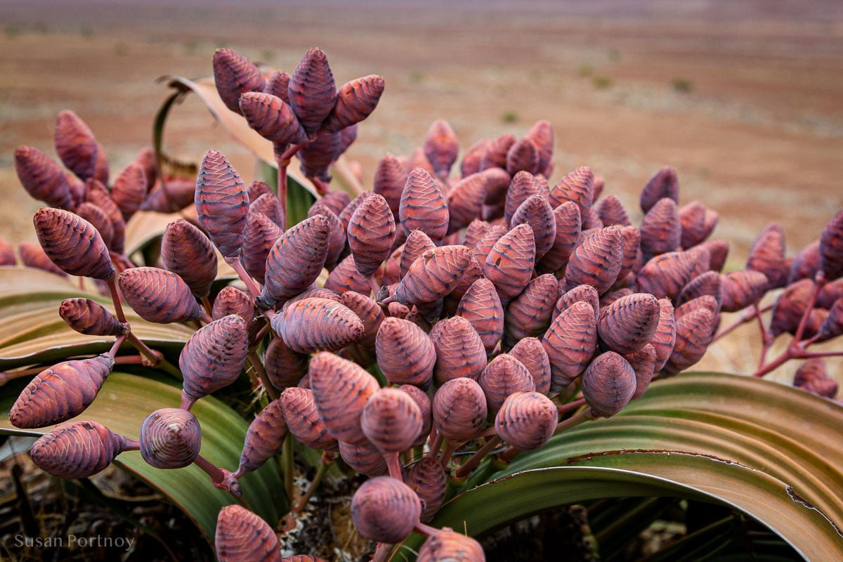 A welwitschia mirabilis.. an idigenous plant found along the Skeleton Coast. This is a female, you can tell by its easter egg-like bulbs. The male plants are not as fancy with protrusions that look like straws. These plants are incredibly hearty. The largest Welwitschia plants are about 2,500 years old