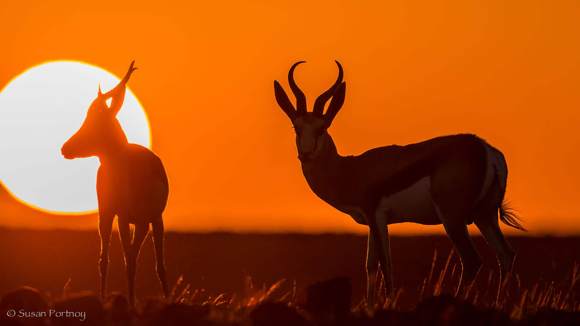 Springbok at sunset near Desert Rhino Camp, Namibia