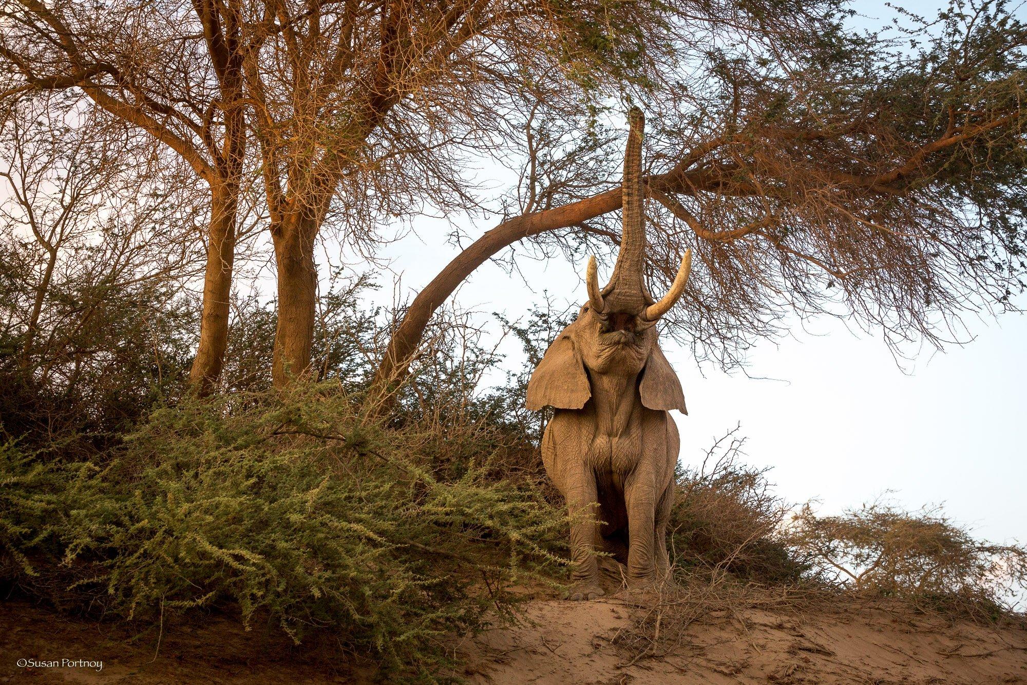 Papa G elephant near Hoanib Skeleton Coast Camp