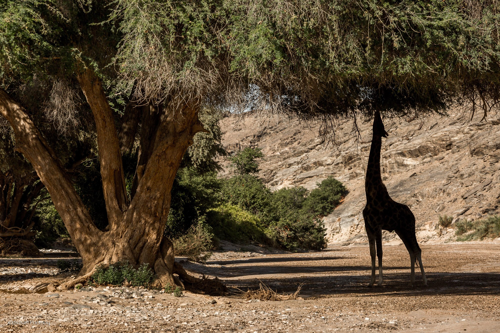 giraffe eats leaves under a tree near Skeleton Coast Camp in Namibia