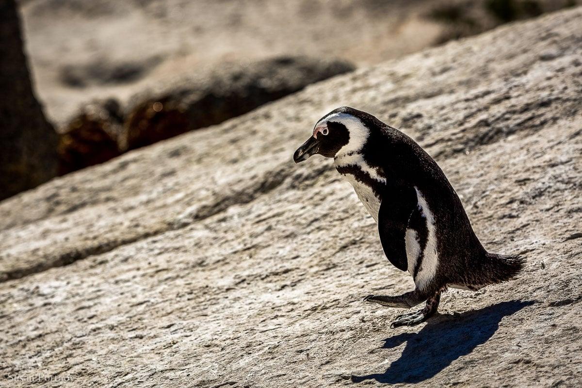 Penguin walking on a rock in Boulders Beach