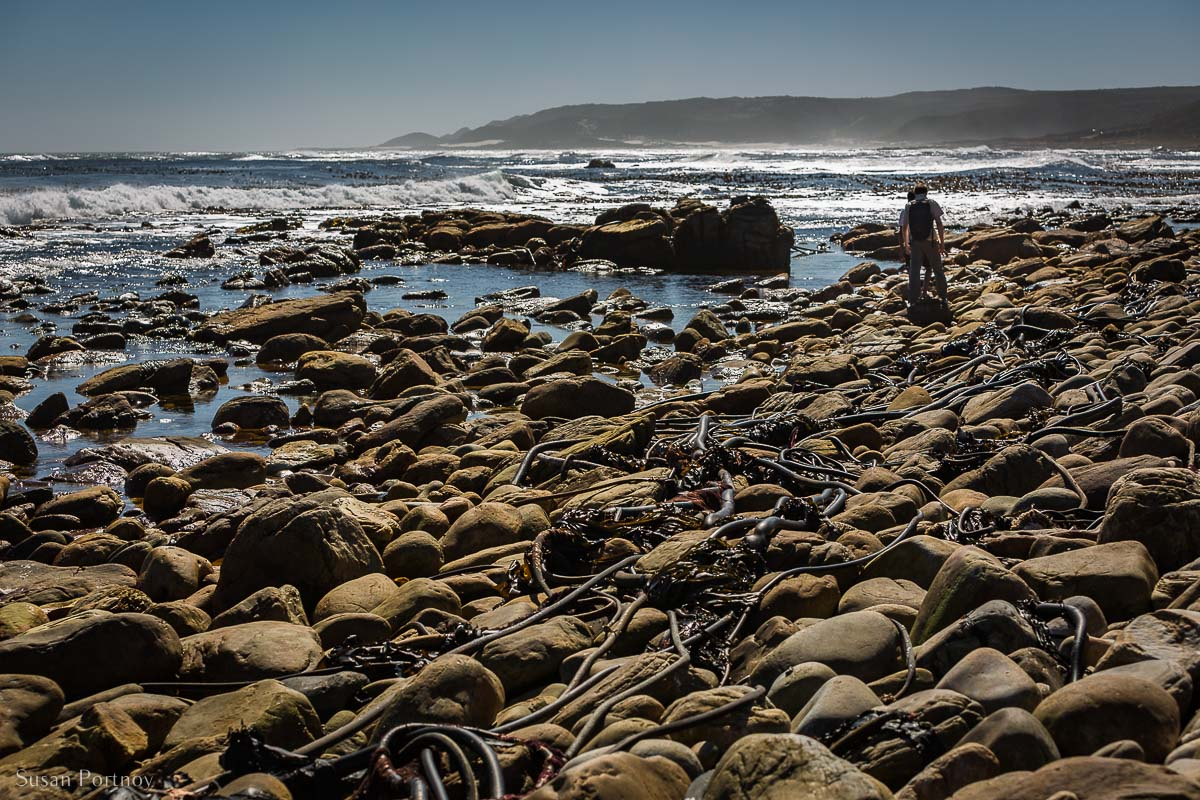 Kelp as thick as tree branch and hundreds of feet long washed up on the shore of Cape Point