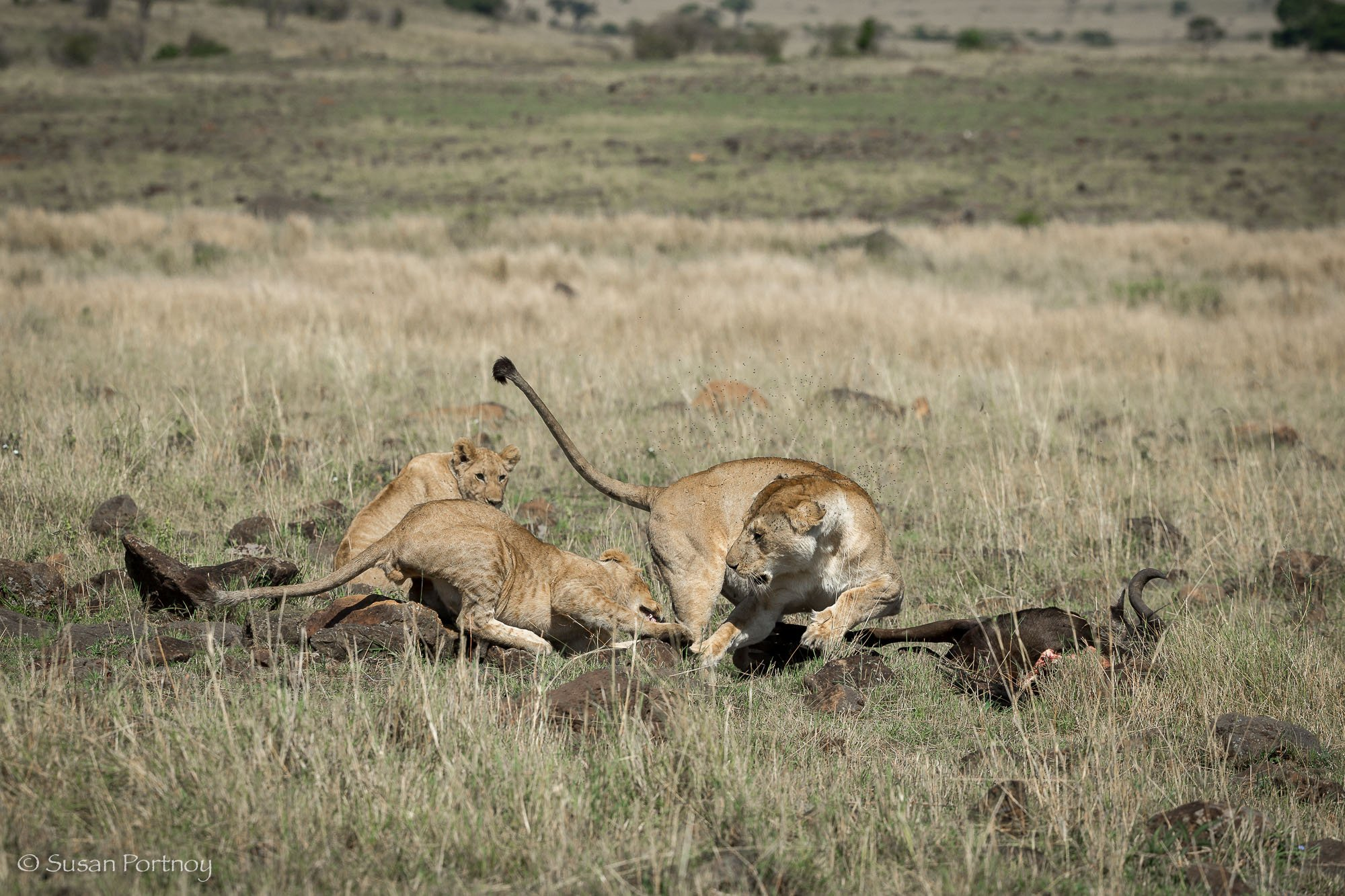 Lion fights with cub over wildebeest carcass on the Masai Mara, Kenya